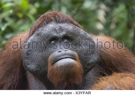 Male Orangutan, Indonesia. Native to Indonesia and Malaysia, orangutans are currently found in only the rainforests of Borneo an - Stock Photo