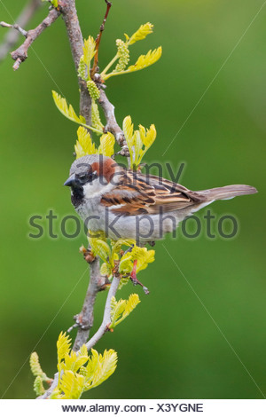 House Sparrow (Passer domesticus) perched on a branch in Victoria, Vancouver Island, British Columbia, Canada - Stock Photo