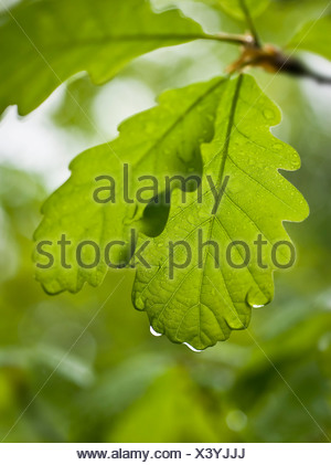 Quercus petraea, Oak, Sessile oak - Stock Photo