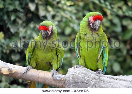 bird, exotic, tropical, scarlet, parrot, beautiful, beauteously, nice, big, - Stock Photo