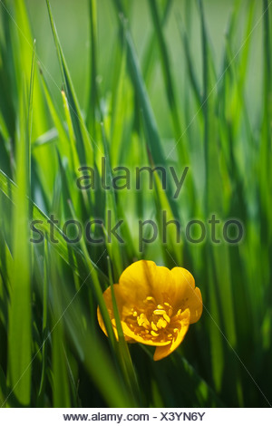 Rananculus repens, Buttercup, Creeping buttercup - Stock Photo