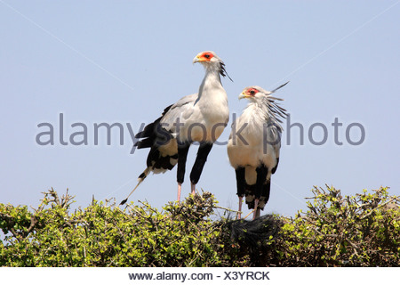secretary bird, Sagittarius serpentarius (Sagittarius serpentarius), two birds sitting side by side on a tree top, Kenya, Masai Mara National Park - Stock Photo