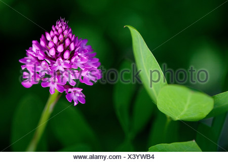 Pyramidal orchid (Anacamptis pyramidalis), Plitvice Lakes National Park, Croatia, Europe - Stock Photo