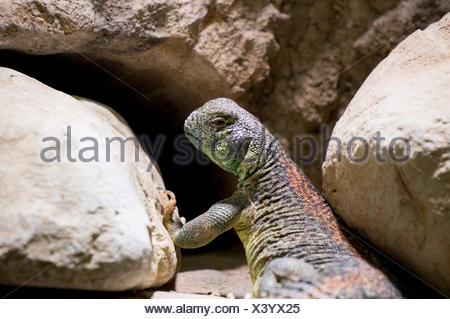 Omani spiny tailed Lizard - Stock Photo