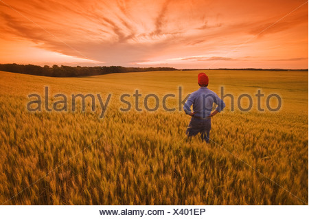 a man looks out over a field of maturing wheat, near Treherne, Manitoba, Canada - Stock Photo
