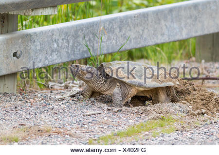 Snapping Turtle (Chelydra serpentina) laying eggs on the shoulder of the road, Killarney, Ontario, Canada - Stock Photo