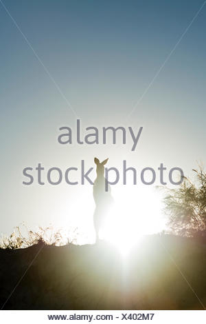 A silhouette of an Eastern Grey Kangaroo on a beach sand dune at sunset. - Stock Photo
