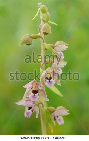 Close-up of the flowering flowers of the Broad Leaved Helleborine - Stock Photo