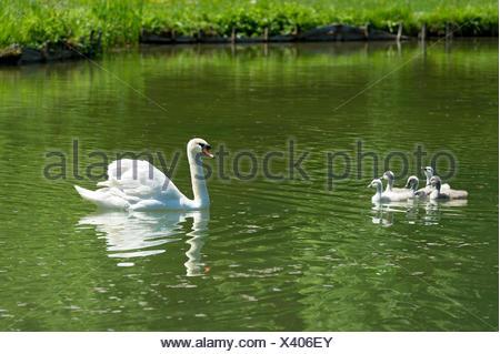 Mute Swan (Cygnus olor) with young birds, Central Canal, Schleissheim Palace complex, Oberschleißheim, Upper Bavaria, Bavaria - Stock Photo