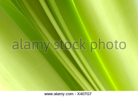 amaryllis (Hippeastrum spec.), structure of the leaf - Stock Photo