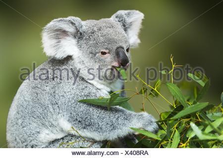 Koala (Phascolarctos cinereus) eating Eucalyptus leaves - Stock Photo