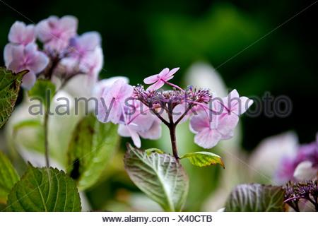 Lacecap Hydrangea flowers - Stock Photo