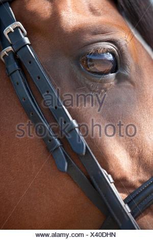 An Arabian horse wearing a bridle, focus on eye - Stock Photo