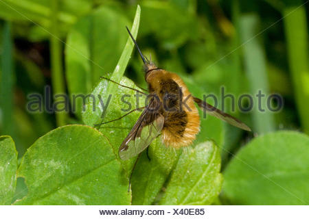 Large bee-fly (Bombylius major), on a leaf, Germany