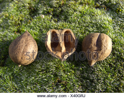 bitter-nut hickory, bitternut hockory (Carya cordiformis), fruits - Stock Photo