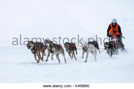 Sledge dog team on snow, Huskies, sled dog race, Unterjoch, Allgäu, Bavaria, Germany - Stock Photo