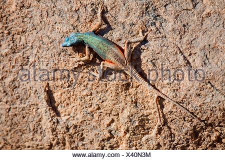 Broadley's Flat Lizard (Platysaurus broadleyi), colourful male on a rock, South Africa, Northern Cape, Augrabies Falls-Nationalpark, Kakamas - Stock Photo