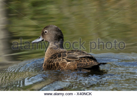 adult brown teal in water; volwassen aucklandtaling in water - Stock Photo