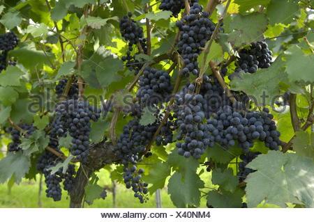botany, grape-vine, (Vitis), European grapevine, (Vitis vinifera), mature grape at vine, Southern Wine Route, Rhineland-Palatinate, Germany, Additional-Rights-Clearance-Info-Not-Available - Stock Photo