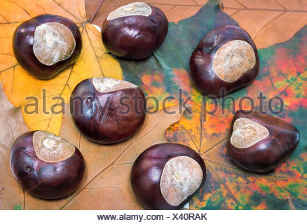 Chestnuts on a background of autumn leaves. - Stock Photo