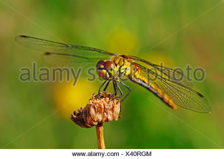 Large Darter dragonfly (Sympetrum striolatum), female, North Rhine-Westphalia - Stock Photo