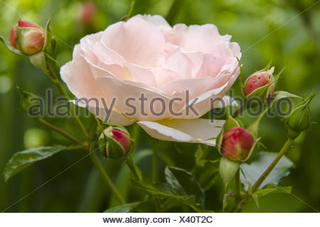 Rose with buds - Stock Photo