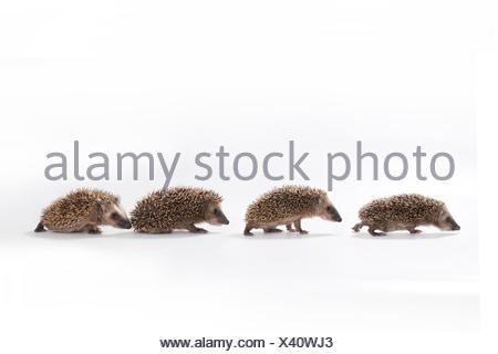 European hedgehog (Erinaceus europaeus), four young hedgehogs walking in a line, captive - Stock Photo