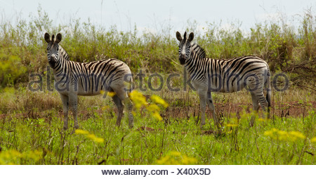 Two Zebras stand in the African plains - Stock Photo