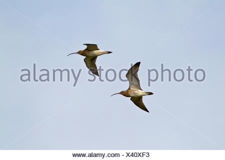 western curlew (Numenius arquata), two flying birds, Germany, Schleswig-Holstein - Stock Photo