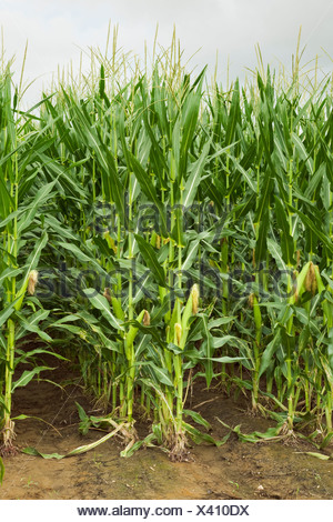 Twin row planted mid growth grain corn plants at the post tassel stage with maturing ears on the stalks, viewed from the row end - Stock Photo