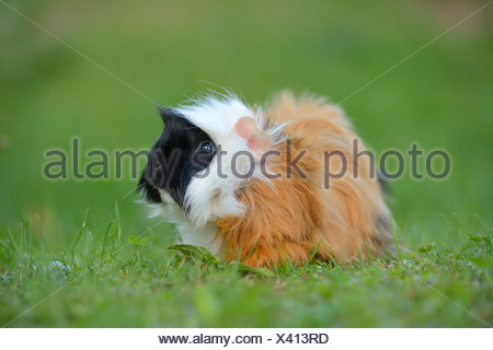 Guinea pig on meadow - Stock Photo