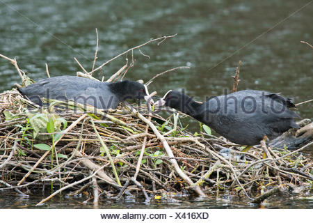 Eurasian coots (Fulica atra), male feeding female on the nest, Emsland, Lower Saxony, Germany - Stock Photo