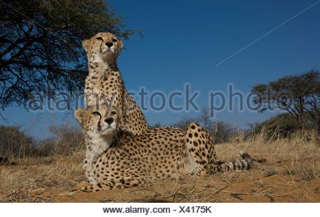 Two Cheetahs (Acinonyx Jubatus) sitting on ground, Namibia - Stock Photo