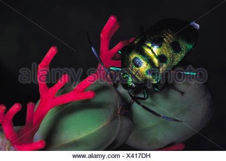 Jewel bug on Jatropa. Order: Hemiptera. Maharashtra, India. - Stock Photo