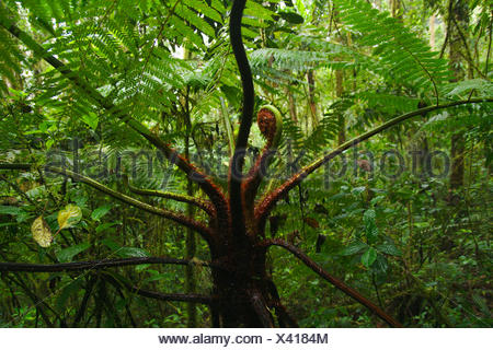 tree fern in cloud forest, Colombia, Parque Ucumari - Stock Photo