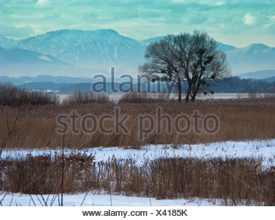 reed grass, common reed (Phragmites communis, Phragmites australis), reed zone and willow with mistletoes at Lake Chiem, Chiemsee, Germany, Bavaria - Stock Photo