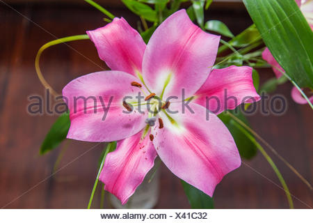 Lilium (members of which are true lilies) is a genus of herbaceous flowering plants growing from bulbs, all with large prominent flowers. - Stock Photo