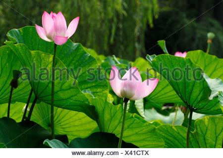 Lotus (Nelumbo), Shanghai, China, Asia - Stock Photo