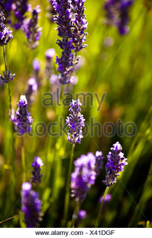 Lavender (Lavandula angustifolia), near Sault and Aurel, in the Chemin des Lavandes, Provence-Alpes-Cote d'Azur, Southern France - Stock Photo