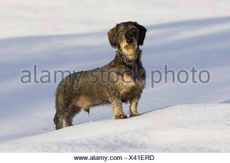 wire-haired dachshund dog - standing in snow - Stock Photo