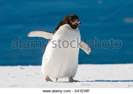 Adelie Penguin, Pygoscelis adeliae, Antarctic Peninsula, Antarctica - Stock Photo