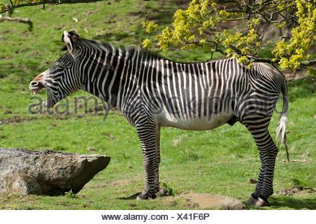 Grévy's Zebra (Equus grevyi), yawning, captive - Stock Photo