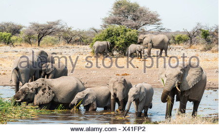 Herd of African Bush Elephants (Loxodonta africana) standing in the water while drinking, Koinachas Waterhole - Stock Photo