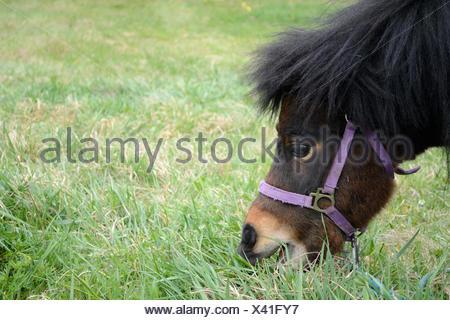 Nahaufnahme wie Pony auf der gruenen Wiese frisst - Stock Photo