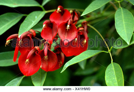 cockspur coral tree (Erythrina crista-gallii), blooming - Stock Photo