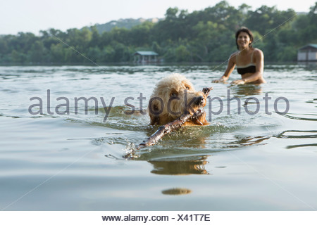 A labradoodle dog swimming with a stick in her mouth. A woman in the background. - Stock Photo