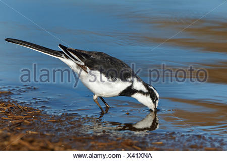 African pied wagtail (Motacilla aguimp), drinking, South Africa, Krueger National Park, Lower Sabie Camp - Stock Photo