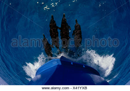 Atlantic spotted dolphins {Stenella frontalis} riding on bow wave, Bahamas - Stock Photo
