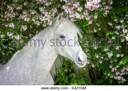 Arab Horse, Arabian Horse. Portrait of senior gray stallion. Switzerland - Stock Photo