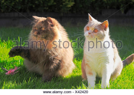 British Longhair, Highlander, Lowlander (Felis silvestris f. catus), four years old British Shorthair cat in colour lilac tortie white sitting together with a three years old British Longhair cat in chocolate tortie in a meadow - Stock Photo